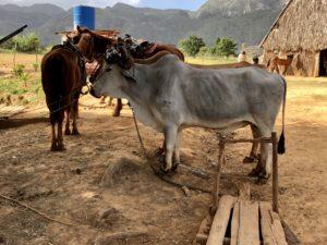 Ochsenkarren an einer Farm im Viñales Tal