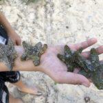 Vier Seesterne auf Kirans Arm am Strand von Playa Larga